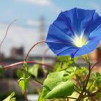 CANON Canon EOS Kiss X4で撮影した植物(青い)の写真(画像)