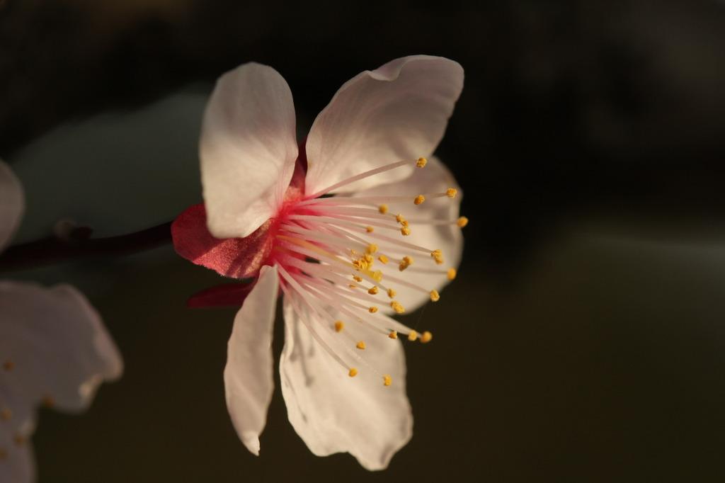 桜・アップ