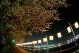 砂沼 桜祭り