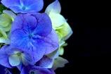 彩・紫陽花
