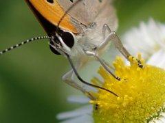 蜜を吸うチョウ