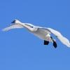 アメリカコハクチョウ飛翔