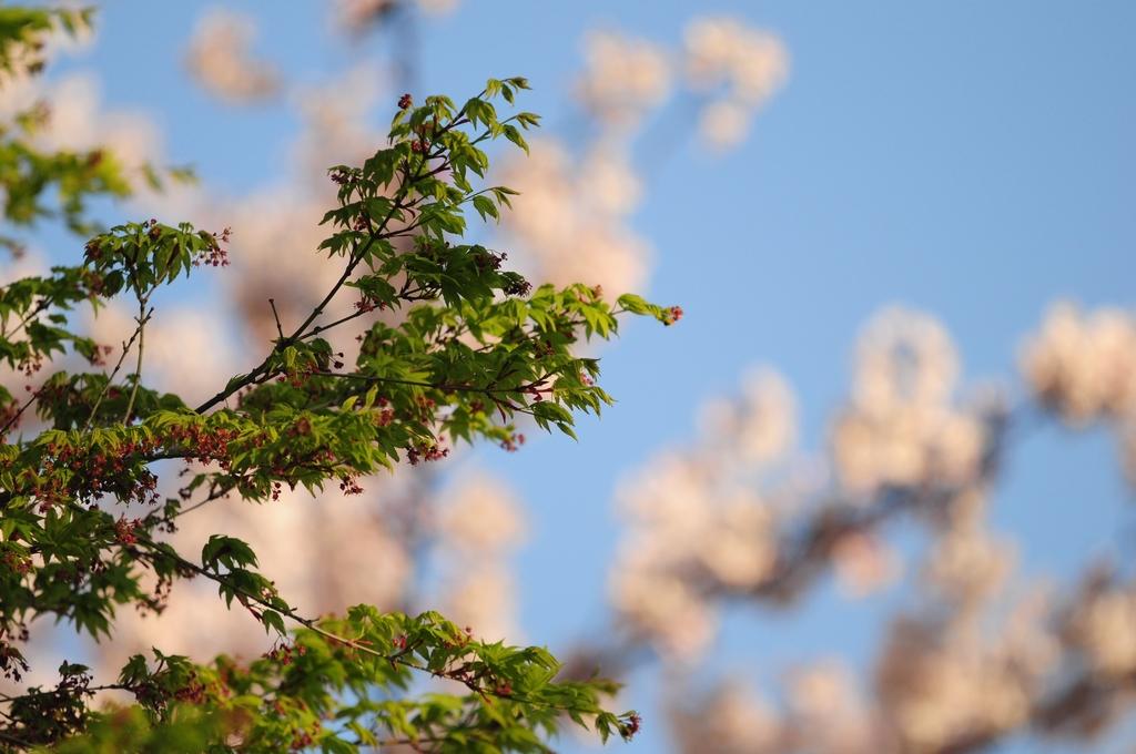 桜を背景に