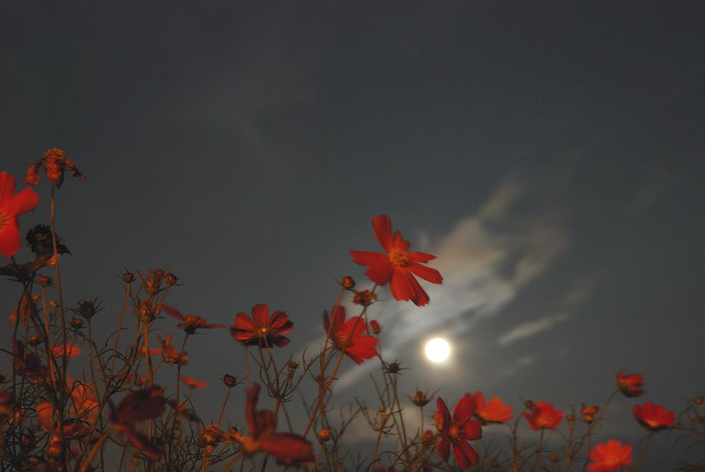 コスモスと月