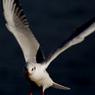 CANON Canon EOS Kiss Digital Nで撮影した動物(翼)の写真(画像)