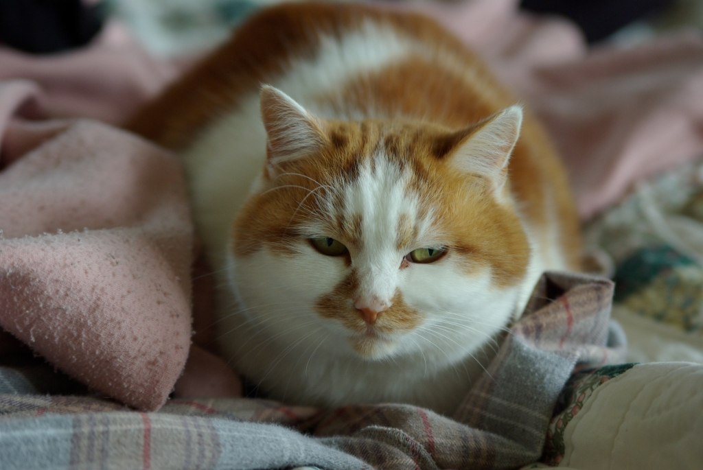 居座りつづける元祖メタボ猫「マロ」