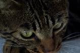 腹黒いメタボ猫「ちび」