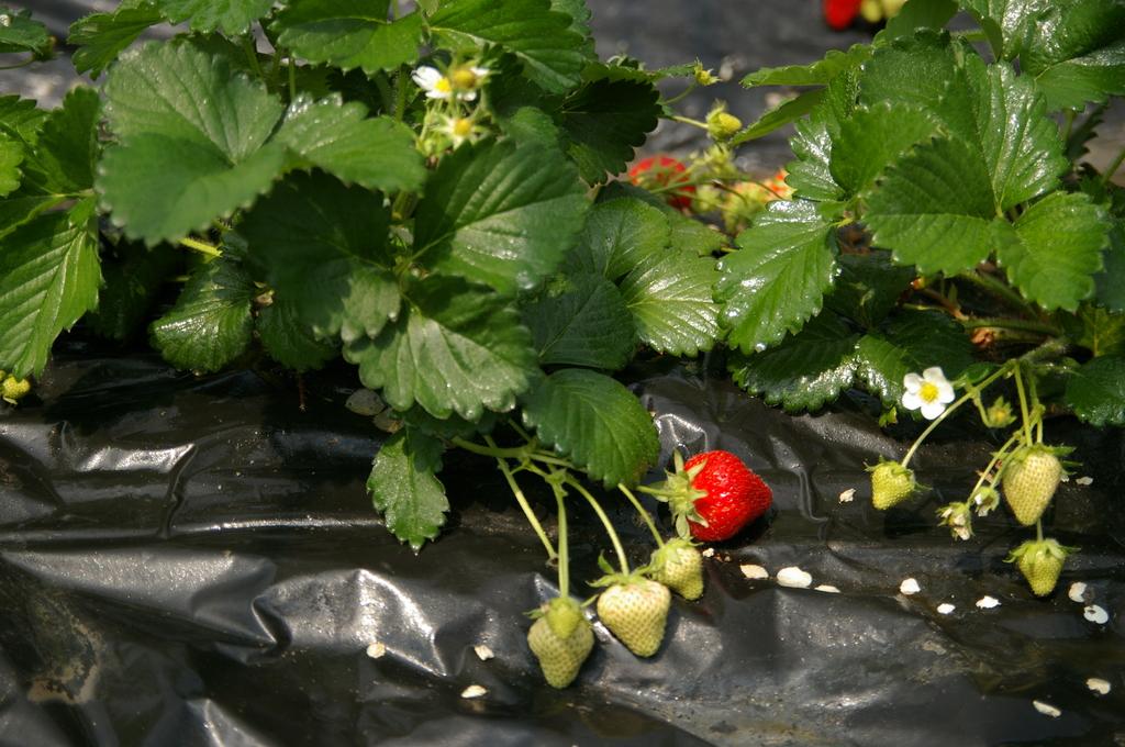 イチゴの温室で