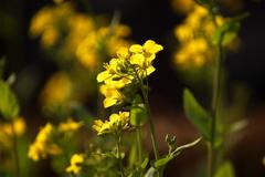 コマツナの花