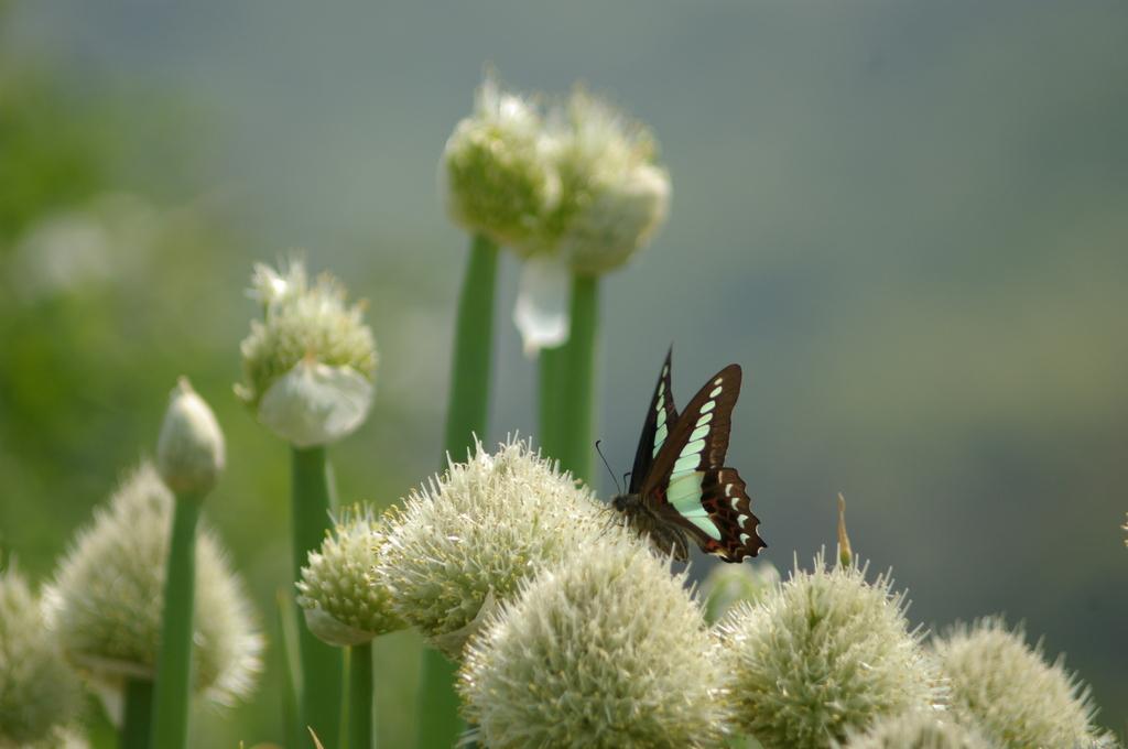 葱の花とアオスジアゲハ