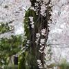京桜~枝垂れ~