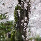 PENTAX PENTAX K-5で撮影した植物(京桜~枝垂れ~)の写真(画像)