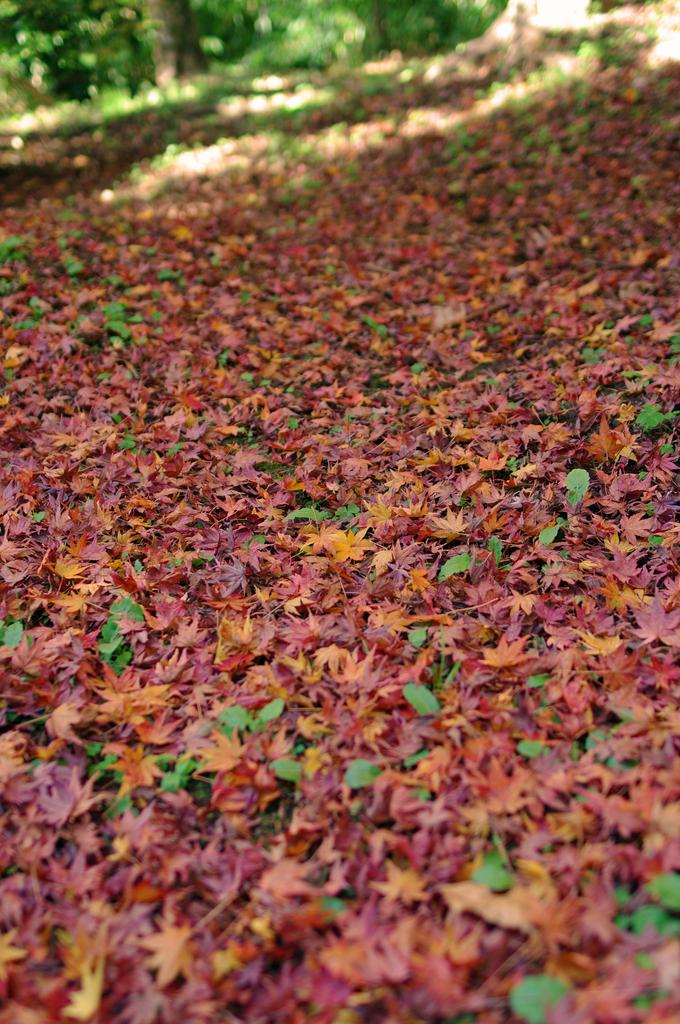 紅葉の絨毯