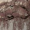 暮れる老桜