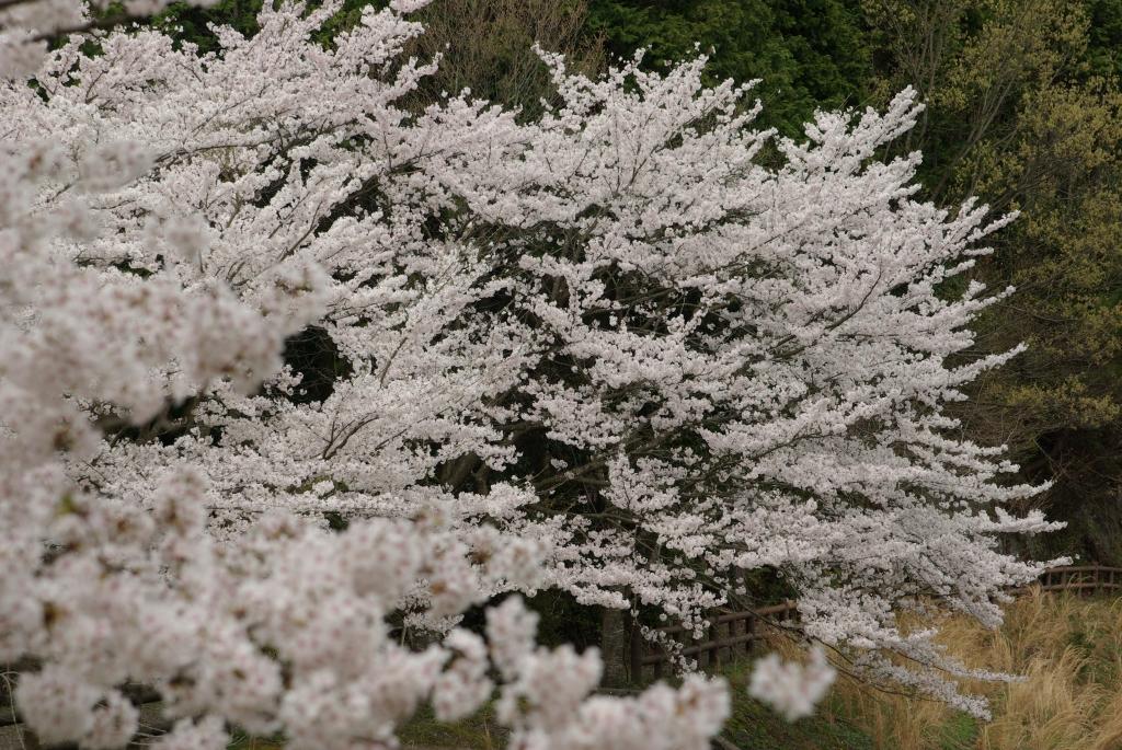 京都亀岡桜-1