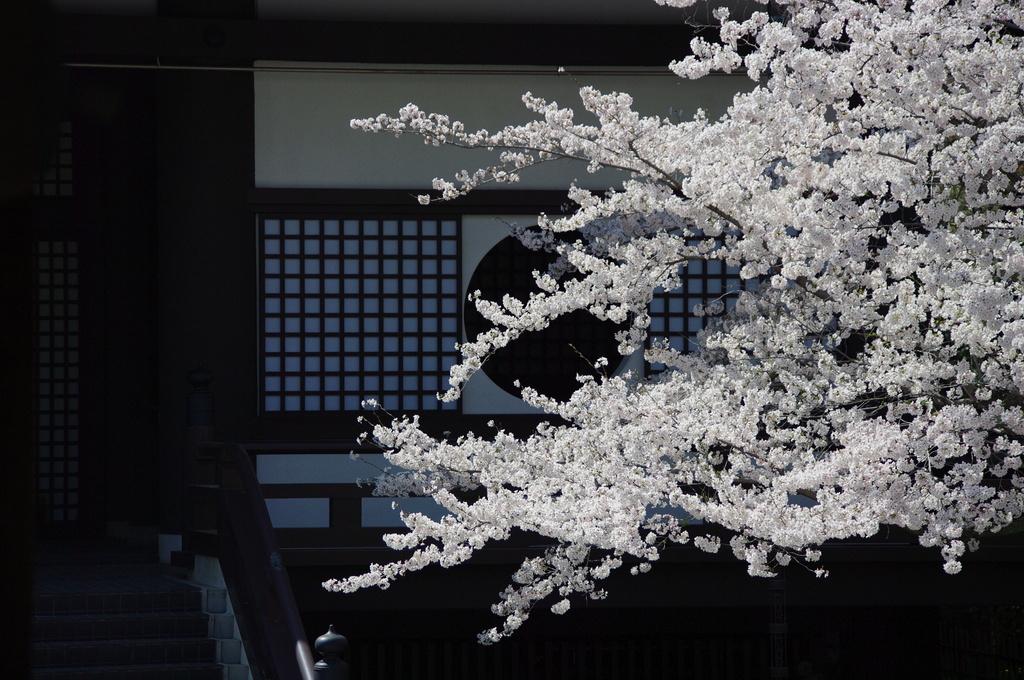 大雲院の桜