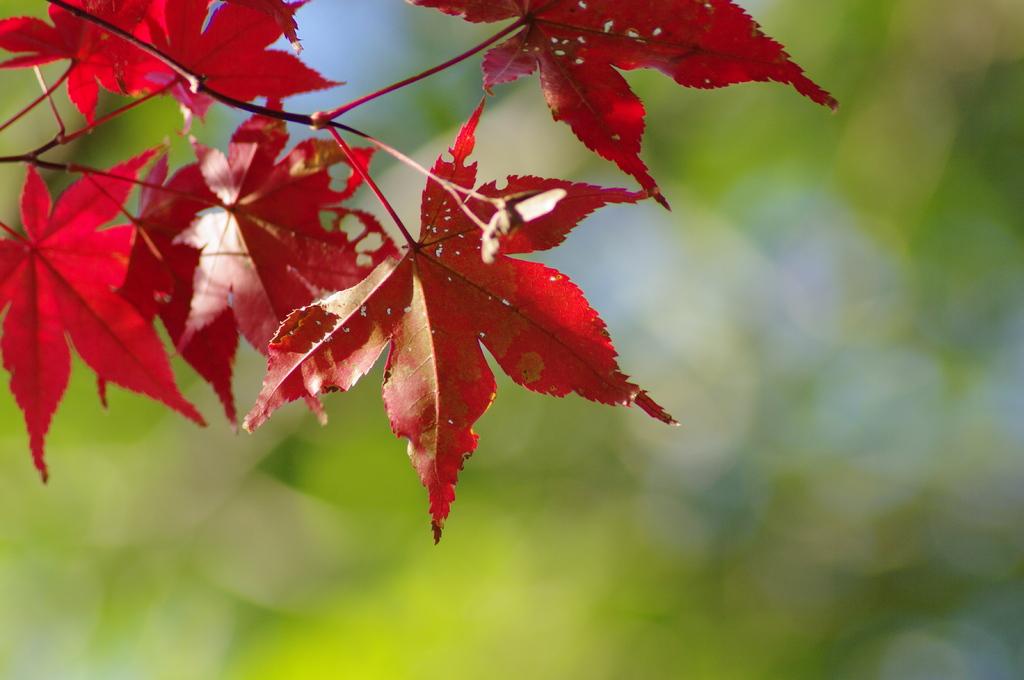 秋枯れ紅葉