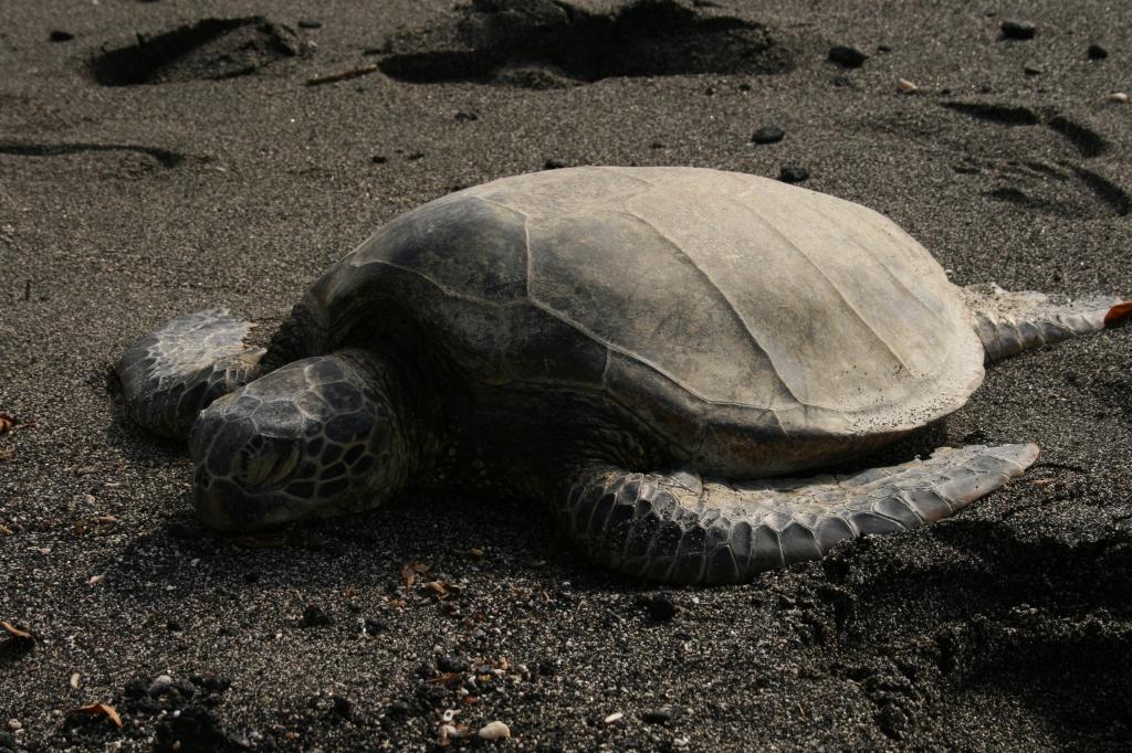 Hawaiiのウミガメ