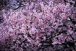 新宿御苑の桜-1