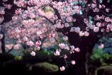 新宿御苑の桜-2