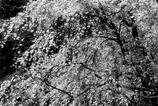 新宿御苑の桜(モノクロ)