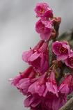 Vivid pink 寒緋桜