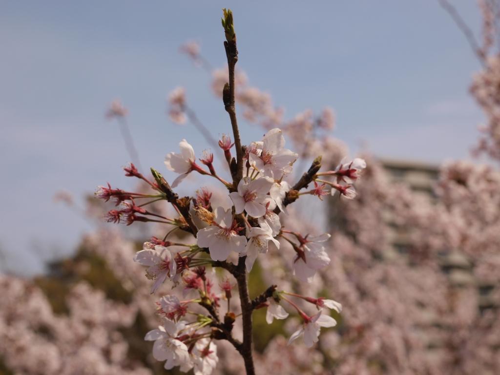 桜咲くころ