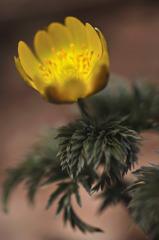 春を告げる黄色い花。