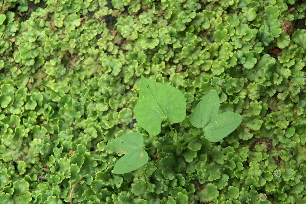 ゼニゴケとアサガオの芽