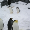 ジェンツーペンギンとキングペンギン