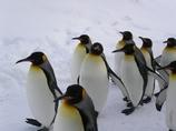 キングペンギンの散歩
