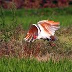 CANON Canon EOS 7Dで撮影した動物(羽ばたけ、ニッポニア・ニッポン)の写真(画像)