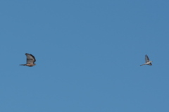猛禽のツミ、ハクセキレイを追う。今年急に猛禽が増えた(;゚Д゚)