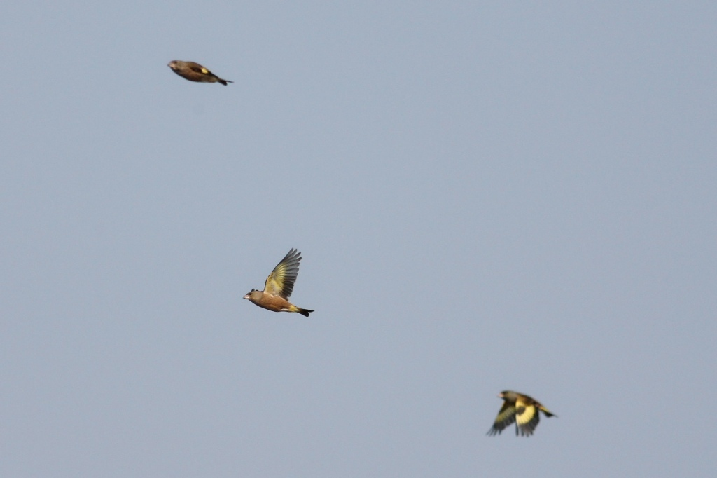 カワラヒワの飛翔、 三者三様