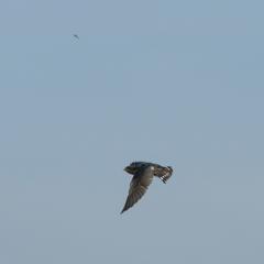 ツバメ_4 幼鳥、こちらをチラ見 ^^