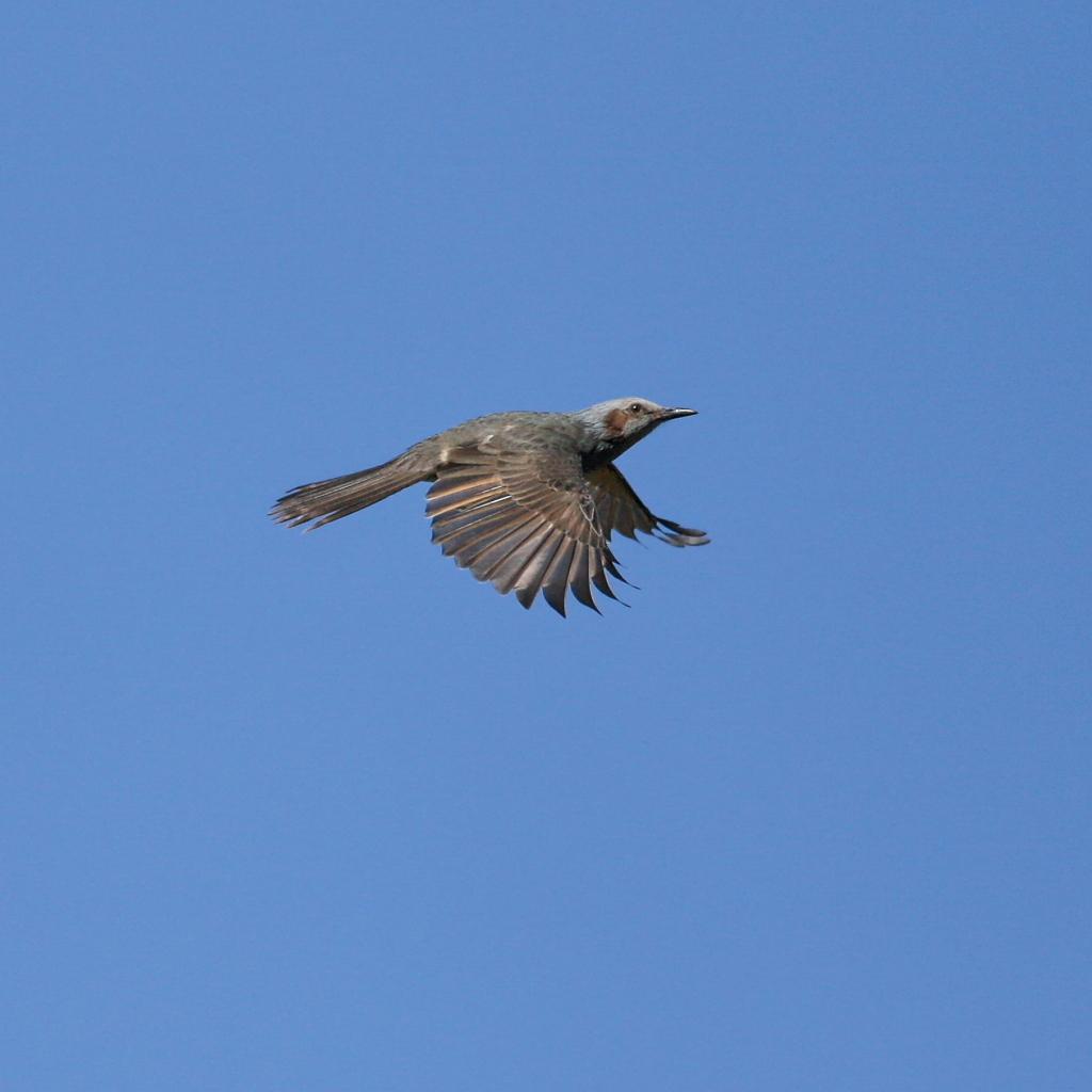 ヒヨドリの飛翔、翼広げ