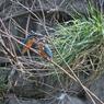 CANON Canon EOS-1D Mark IIIで撮影した動物(カワセミの求愛給餌)の写真(画像)