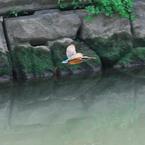 CANON Canon EOS-1D Mark IIIで撮影した動物(カワセミ♀、右に飛ぶ)の写真(画像)