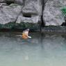CANON Canon EOS-1D Mark IIIで撮影した動物(カワセミ♀ 左に飛ぶ)の写真(画像)