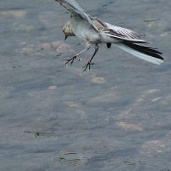 襲いかかるハク幼鳥 (;゚Д゚)
