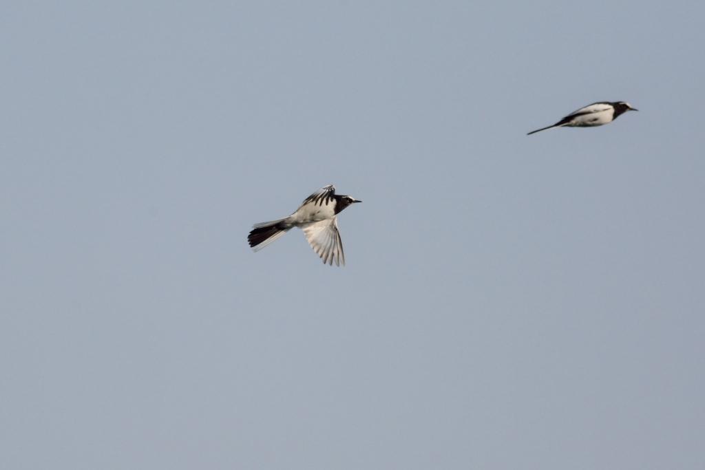 セグロセキレイの飛翔