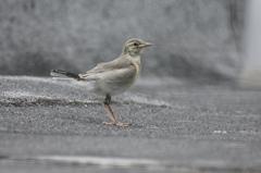 ハクセキレイー幼鳥が奥の方にいたのだ