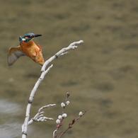 CANON Canon EOS-1D Mark IIIで撮影した動物(カワセミが飛びついた)の写真(画像)