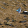 CANON Canon EOS-1D Mark IIIで撮影した動物(カワセミ、♂は大忙し)の写真(画像)