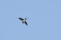 ツバメ飛翔-2