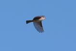 スズメ -2   青空に飛ぶ