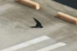 SONYでツバメ_2  親鳥の飛翔