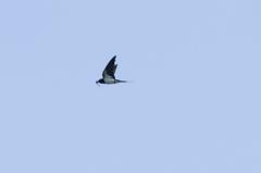 ツバメ飛翔-1