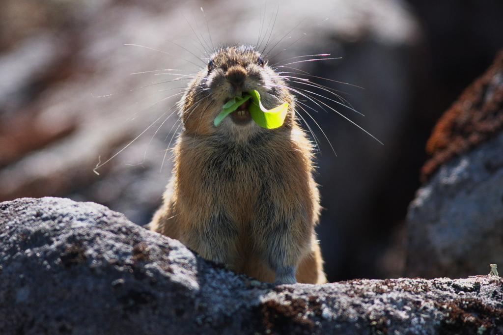 ナキウサギ 上下の歯が見えます。