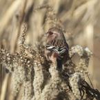 SONY DSLR-A550で撮影した動物(ベニマシコ)の写真(画像)